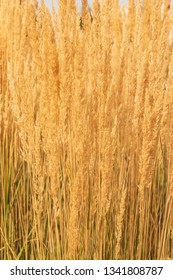 dry yellow grass as background