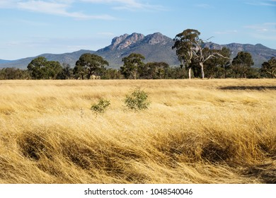 Dry yellow grassland landscape in the bush with Grampians mountains in the background, Victoria, Australia
