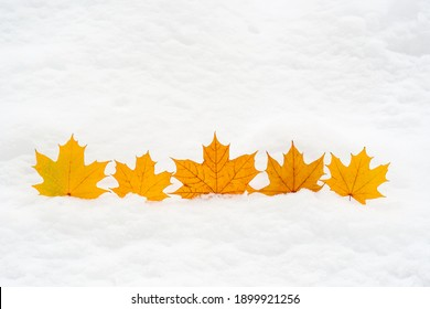 Dry yellow maple leaves on white snow