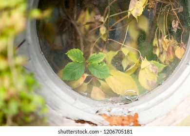 Dry yellow and sluggish leaves of wild grapes behind the round window of an old house