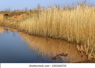 Dry and yellowed reed plants reflected in the mirror smooth water surface of a creek in the Dutch National Park Biesbosch, North Brabant.