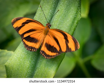 Dryadula is a monotypic genus of the butterfly family Nymphalidae. Its single species, Dryadula phaetusa