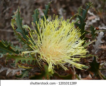 Dryandra Banksia polycephala Mt Trio Stirling Range National Park
