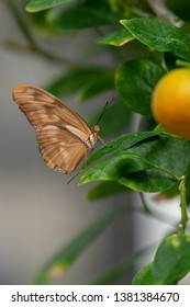 The Dryas iulia butterfly or commonly called the Julia butterfly, Julia heliconian, the flame, or flambeau, is a species of brush-footed butterfly.  Nymphalidae