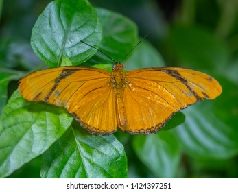 Dryas iulia commonly called the Julia butterfly, Julia heliconian, the flame, or flambeau