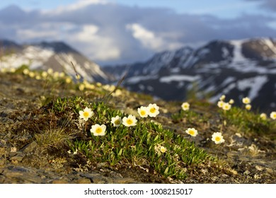 Dryas - white northern flowers in the mountains of the Urals.