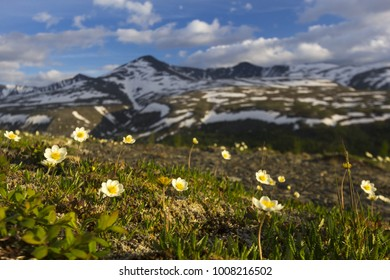 Dryas - white northern flowers in the mountains of the Urals