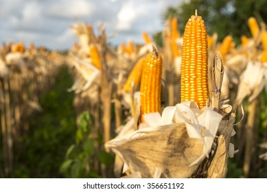 Drying corn on the cob in the field