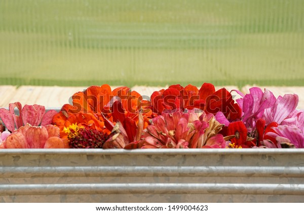 Drying Harvesting Zinnia Flower Seeds Freshly Nature Stock Image 1499004623