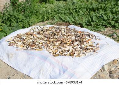 Drying of mushrooms.