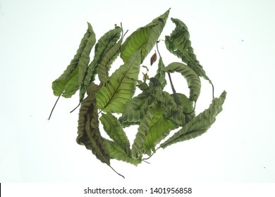 The drying process for kratom leaf