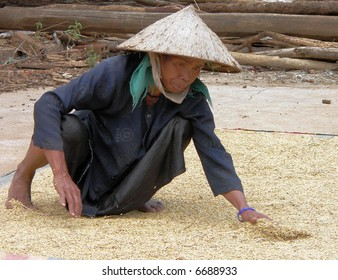 Drying rice after harvest in Vietnam