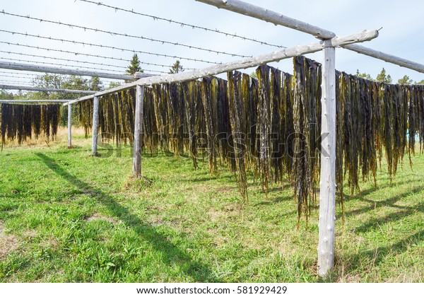 Drying seaweed Laminaria outdoors on Solovki
