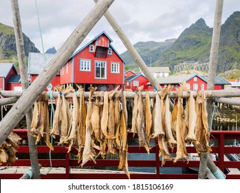 Drying stockfish cod in authentic traditional fishing village with traditional red rorbu houses in summer in Norwegian fjord. Lofoten islands, Norway.