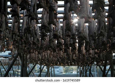 Drying stockfish in lofoten islands. Typical norwegian fish and world famous. In svolvaer town and Ballstad.