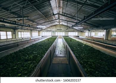 Drying of tea leaves. Production process inside tea factory, Sri Lanka.