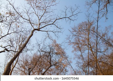 Drying trees and branch with clear sky. Phukradung. Thailand.