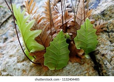 Drynaria quercifolia fern