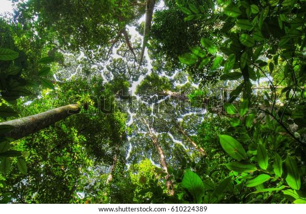 Dryobalanops aromatica (Camphor Tree) Crown Shyness in  FRIM, Malaysia