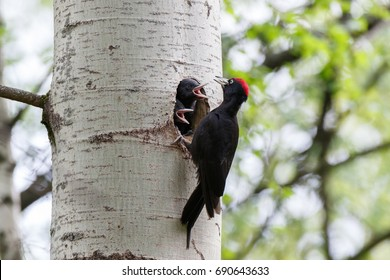 Dryocopus martius. The nest (hole) of the Black Woodpecker in nature. Russia,  Moscow.