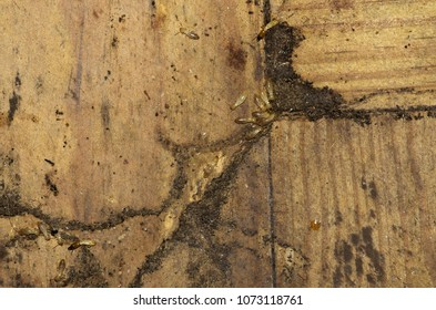 Drywood termites workers and soldiers going over wood floor and entering an hiding tunnel. Soft and pale colored body.