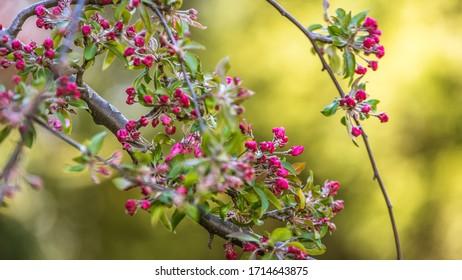 Kwitnące drzewo w ogrodzie, kolorowa wiosna - Shutterstock ID 1714643875