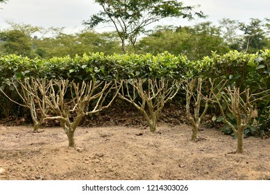DS (deep skiff) Pruning sample of tea bush in Assam. It is done at a height of 12-13 cm above from last LP prune mark to renew the wood for growth of new branches and clean out the bush.
