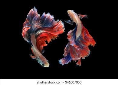 Dual betta fish  isolated on black background. ( Mascot double tail ) Ballerina betta fish