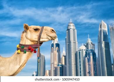 Dubai camel images stock photos vectors shutterstock dubai camel on skyscrapers background at the beach uae dubai marina jbr beach style thecheapjerseys Choice Image