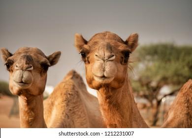 Dubai desert racing camels out in the desert