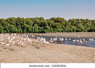 DUBAI, UAE - JAN 18, 2019: White flamingos at Ras al Khor wildlife sanctuary outside of Dubai.