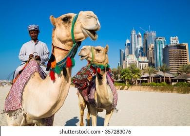 DUBAI, UAE - NOVEMBER 15, 2015: Camels and Dubai skyscrapers background. Dubai Marina beach. UAE camels. Dubai heritage, history. Dubai skyscrapers. Camel riding. Dubai icons.