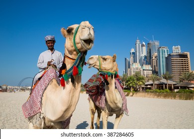 DUBAI, UAE - NOVEMBER 15, 2015: Camels and Dubai skyscrapers background. Dubai Marina beach. Camel riding. Dubai leisure place. Dubai beach. Dubai skyline. Dubai heritage, history.