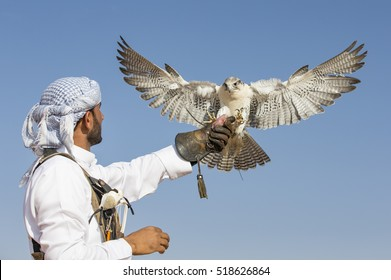 Dubai, UAE, November 19th, 2016: A falconer in traditional outfit, training a Peregrine Falcon (Falco Peregrinus)