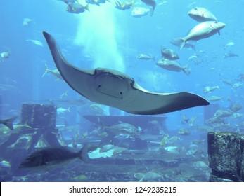 Dubai / United Arab Emirates - July 2012: Manta Ray in the Lost Chambers Aquarium in the Atlantis Palm Hotel.