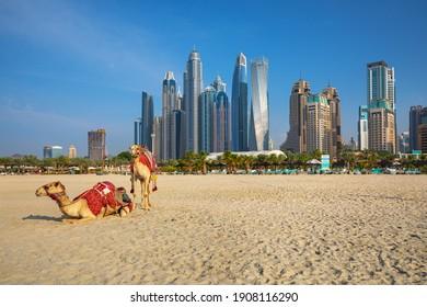 DUBAI, UNITED ARAB EMIRATES-DECEMBER 23, 2019: View on camels and Jumeirha beach in Dubai Marina, United Arab Emirates