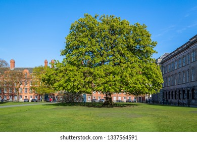 DUBLIN, IRELAND - APRIL 22, 2016: Front view of a large tree on a green lawn at Trinity College with buildings and incidental people in the background in Dublin Ireland April 22, 2016.