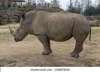 Dublin / Ireland - March 28 2019: Dublin Zoo white rhinoceros family and baby feeding in front of people. In captivity souther white rhino horde