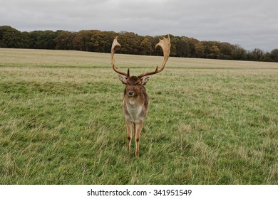 DUBLIN, IRELAND - NOVEMBER 15, 2015: Deer in Phoenix Park