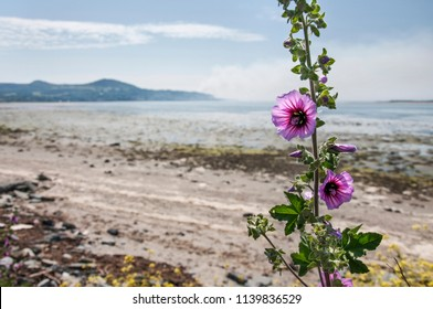 Dublin. Ireland .The wild flower of mallow at sea coast on background of Howth