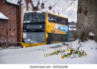 DUBLIN.IRELAND - February 28 , 2018:Daffodils are covered with snow as a result of a snow storm in Ireland .