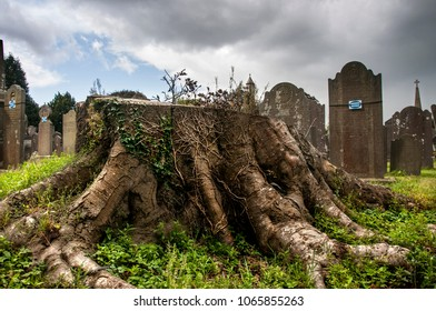 DUBLIN.IRELAND - September 13 , 2017: a large tree stump with the roots among the graves on the Glasnevin cemetery.