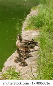 a duck and 7 ducklings, a mother duck with 7 children ducklings  going to swim in the lake, a mother duck behind, children ducklings ahead, fluffy ducklings, mother duck behind