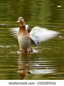 duck bird on the lake pond flapping its wings Anas platyrhynchos
