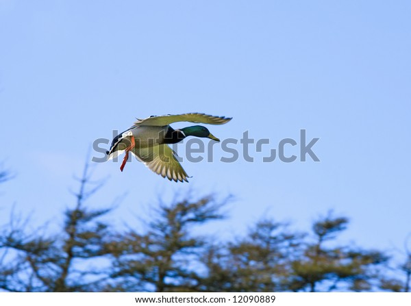 Duck with  brown breast  flies in the sky