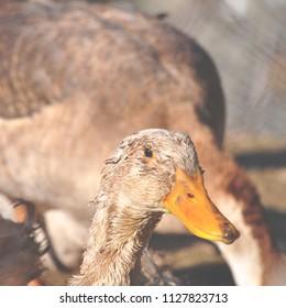 Duck closeup portrait