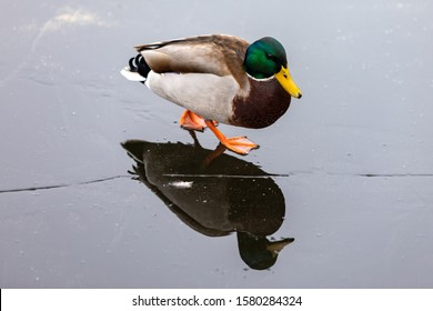 Duck close-up walking on a frozen lake with reflection
