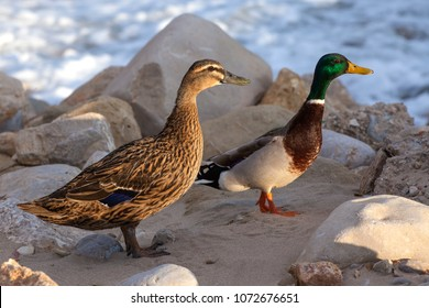 Duck with a drake on the stones. Migratory birds.