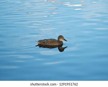 Duck drake swimming on water