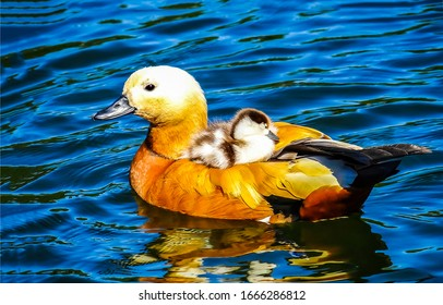 Duck with duckiling swim in water. Duck and duckling photo